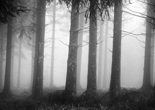 fog forest tree trunks