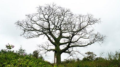 foil silk tree  tree  palo boracho