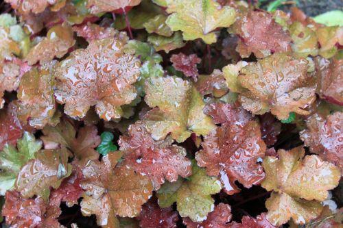 foliage perennial rain