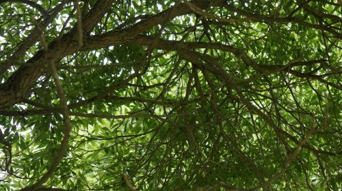 foliage silver willow deciduous tree