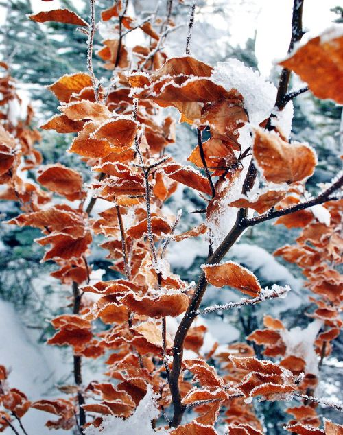 foliage winter frost