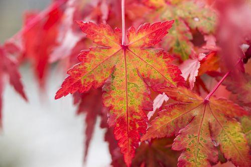 foliage maple leaf japan maple