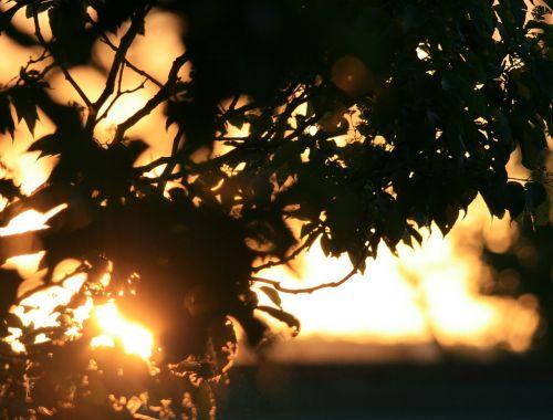 foliage tree sunset
