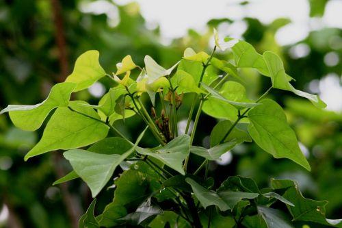 foliage leaves heart shaped