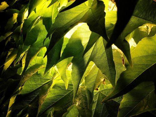 foliage grape leaves grape