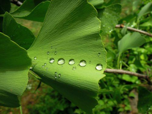 foliage ginkgo leaf ginkgo