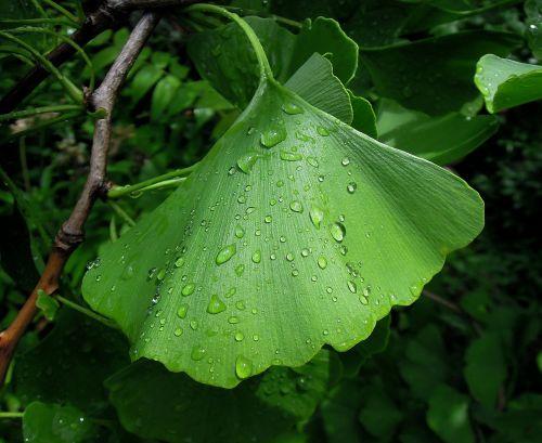 foliage ginkgo leaf ginkgo biloba