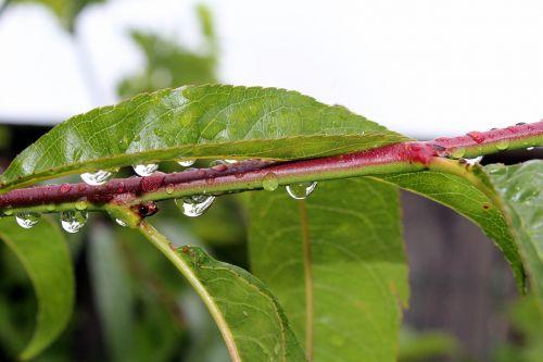 foliage peach rain