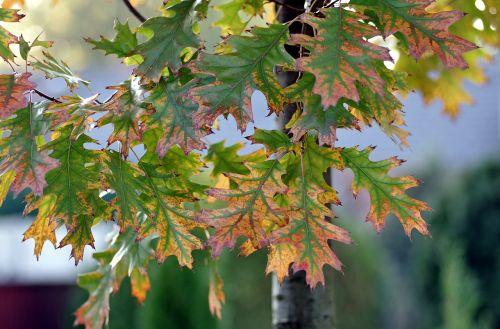 foliage oak green