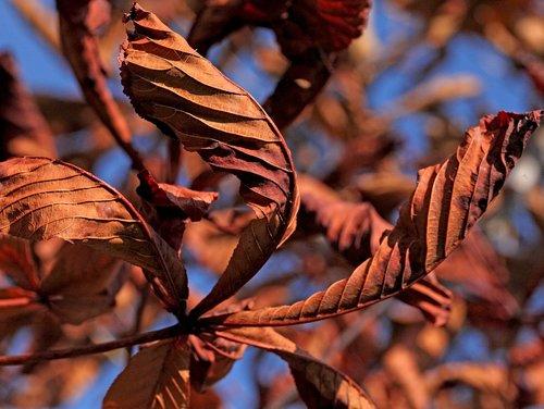 foliage  leaves  zeschłe list