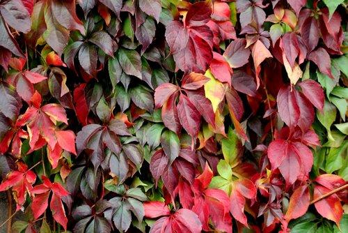 foliage  parthenocissus  creeper
