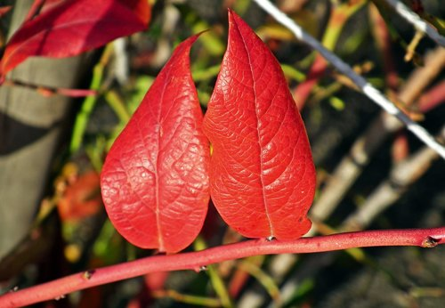 foliage  bilberry american  red