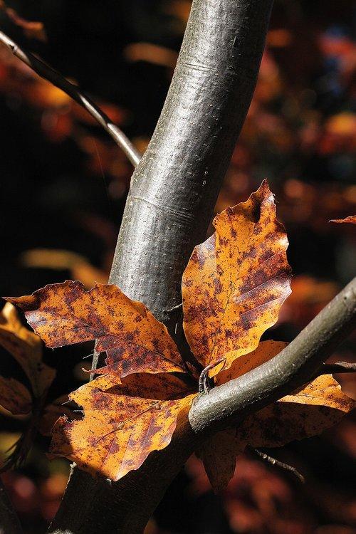 foliage  zeschłe list  beech leaves