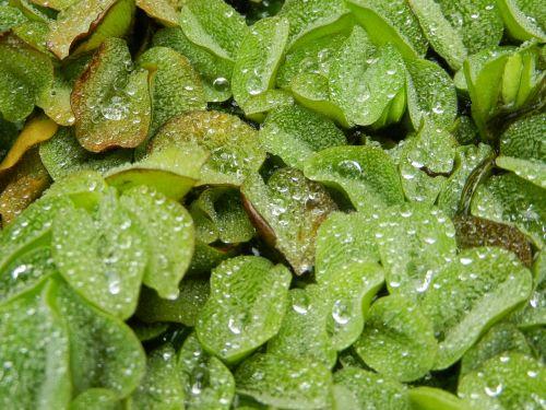 foliage leaf a drop of