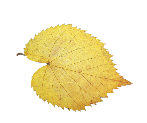 foliage leaf  fall foliage  isolated