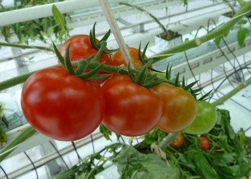 food tomatoes greenhouses