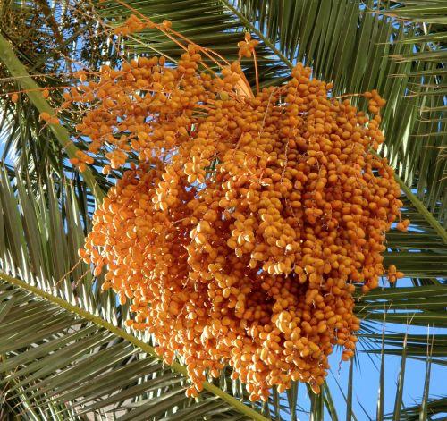 food dates palm tree