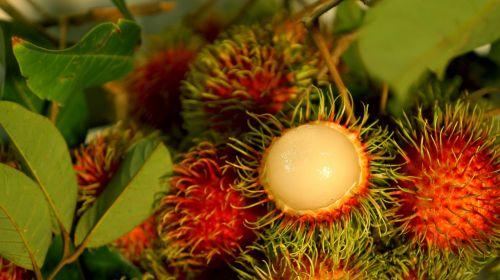 food the rambutan fruit fresh