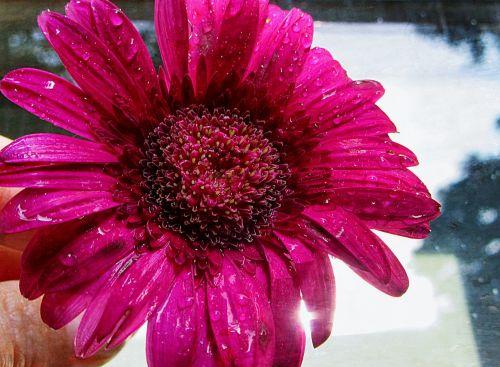 tau,Gerbera,gėlė,žiedlapiai,spalva,rožinis,Gerbera Daisy,augalas,dovanos,lašai,blizgesys