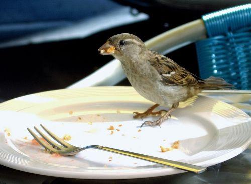 foraging sparrow bird