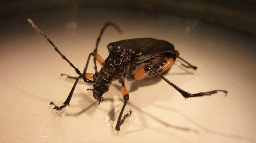 teismo ekspertizė,entomologija,miškas,Coleoptera
