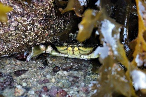 foreshore  green crab  carcinus maenas