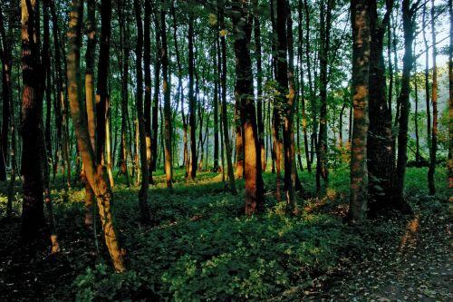 forest light last rays