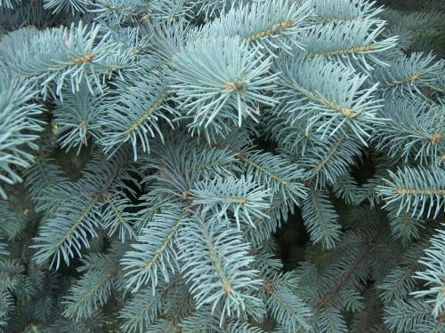 forest spruce blue spruce