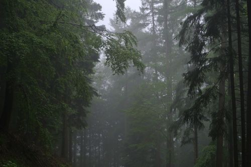 forest fog trees