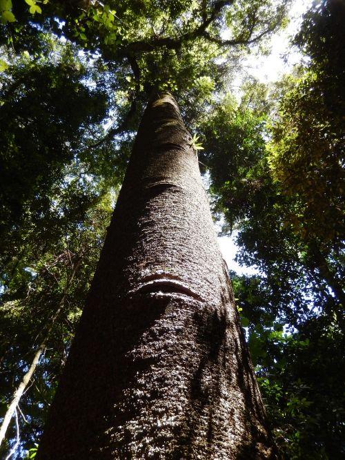 forest tree rainforest