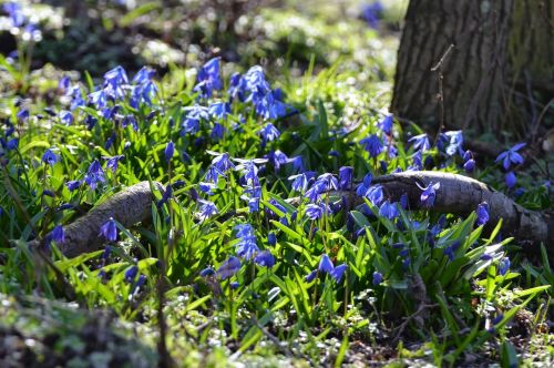 forest spring flowers blue