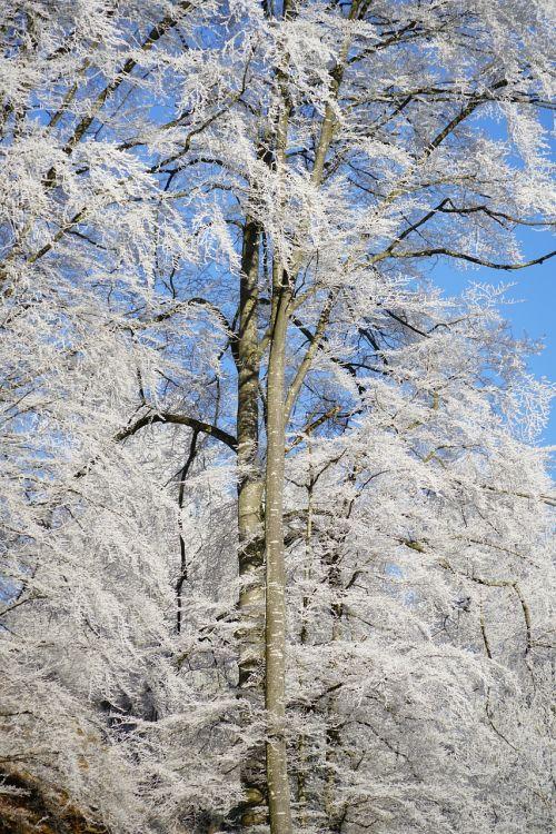 miškas,auskaras,knyga,žiemą,žiema,šaltis,šaltas,prinokę,kristalas,sniegas,medis,žiemos nuotaika,ledinis
