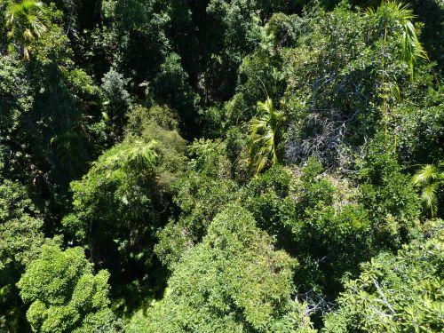miškas,atogrąžų miškai,žalias,flora,atogrąžų miškas,medis,tropinė augmenija,atogrąžų,gamta,lapai,perspektyva,vaizdas,Cairns,australia