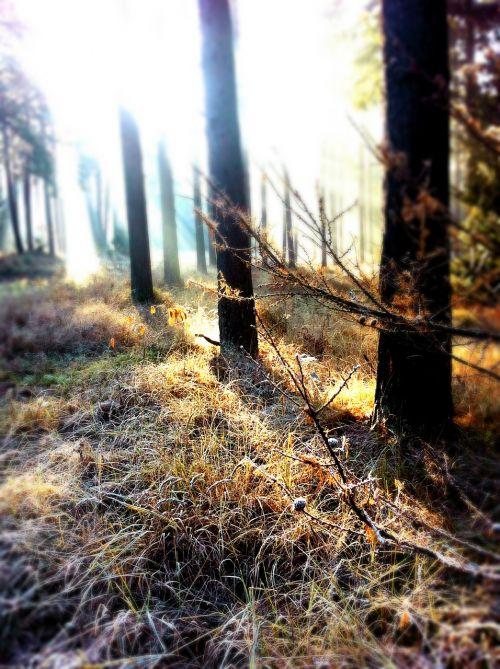 forest sunbeam winter
