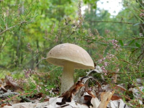 forest mushroom rough boletus
