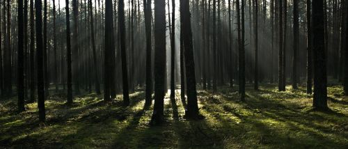forest the rays morning