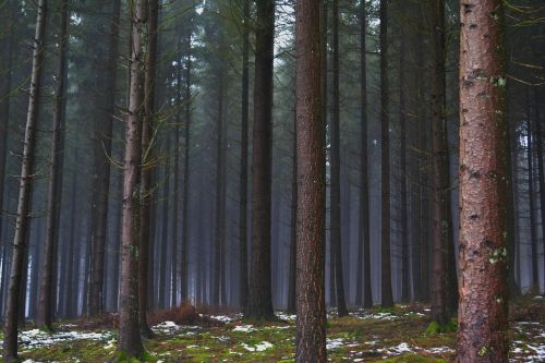 forest pines winter