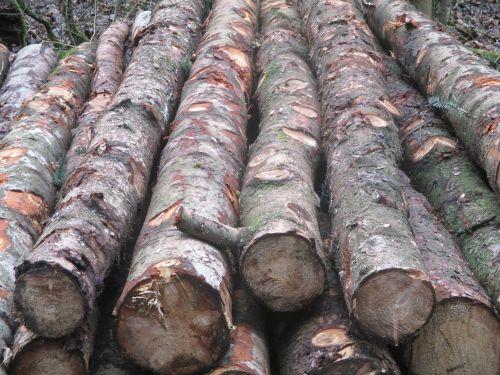 forest tree trunks like