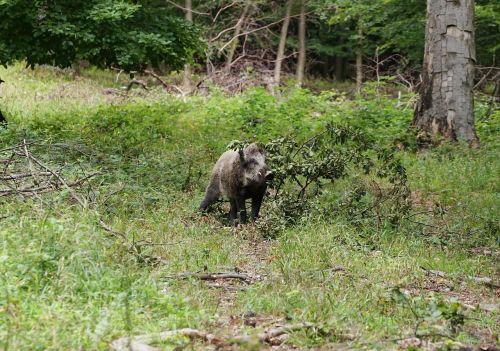forest boar wild boar