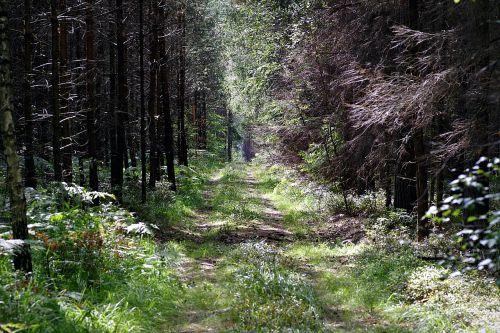 forest the path leśna