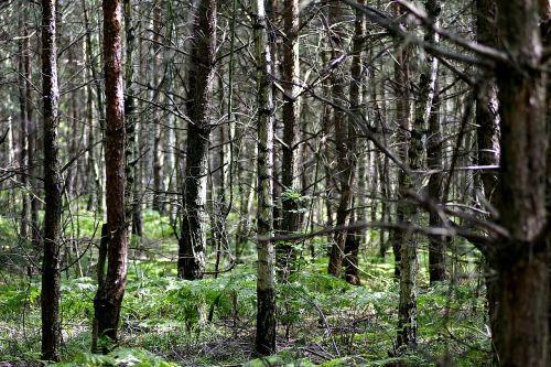 forest tree birch