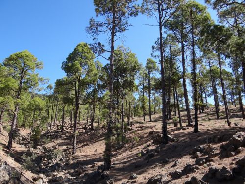 forest tenerife nature