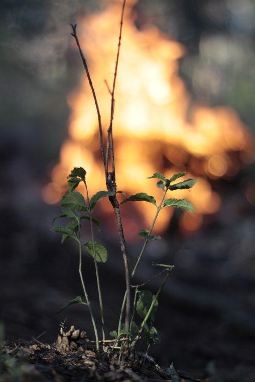 miškas,koster,deginimas,turizmas,vasara,laukinė gamta,gamta,medis,laukinė gėlė,gyvoji gamta,fauna,krupnyj planas,augalas,Iš arti,medžiai
