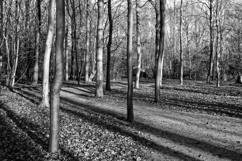 forest trees slender trees