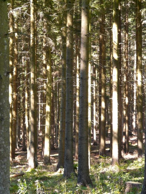 forest trees firs