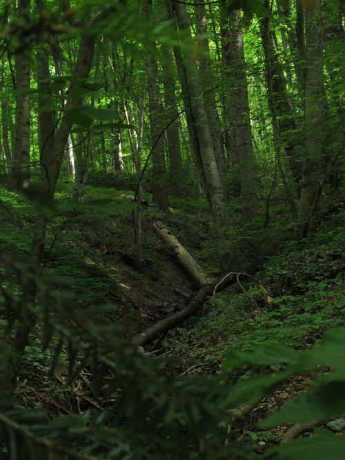 miškas, žalias, natūralus, laukinių, bagažinė