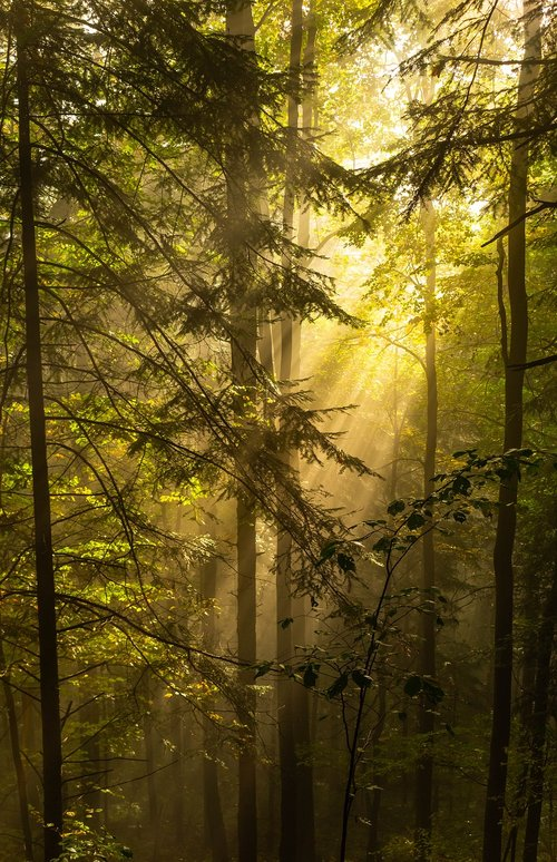 forest  the rays  morning sun