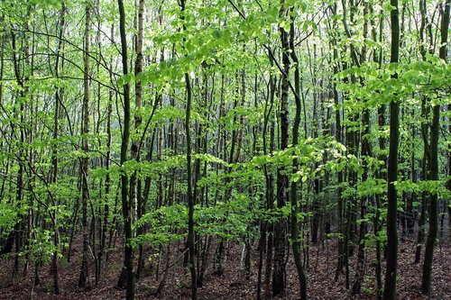 forest  trees  spring