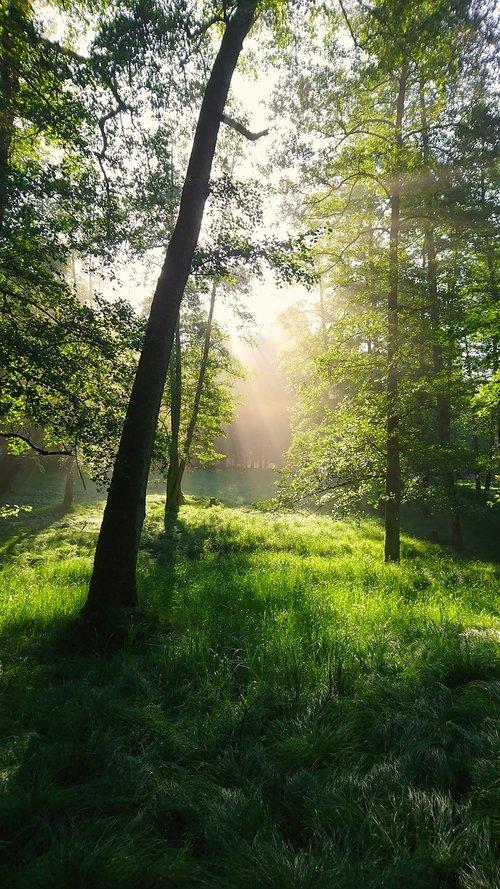 forest  morning  light