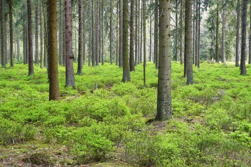 forest,pine forest,trees,spruce,forest plants,forest floor,leaves,forest plant,blue berry bush,blue berry bushes,berry,nature,green,wood,ground,earth,bark,landscape,timber industry,forestry,tree trunks,log